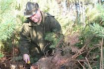 Z porostu starého osm let budou letos vybírat na vánoční stromky borovice v ševětínském polesí.  Spolu se smrčky to bude tento rok minimálně 500 kusů. Na snímku při začišťování kmínku jedné z borovic Petr Ferdan.
