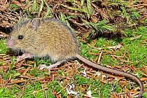 To je ona, vzácná myšivka!