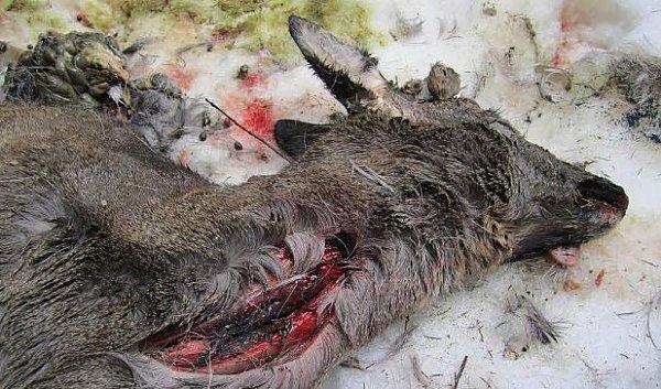 Jed vsrnci zabil rysí kočku.
