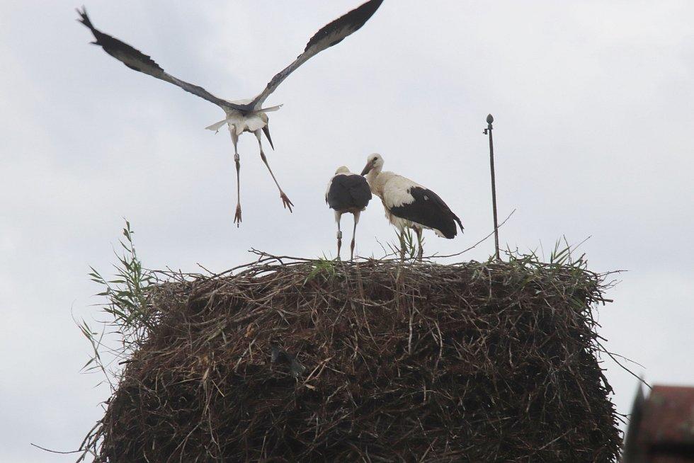 Tři čapí mládata na komíně hlubockého zahradnictví již ve větru pilně trenují na odlet do teplých krajin
