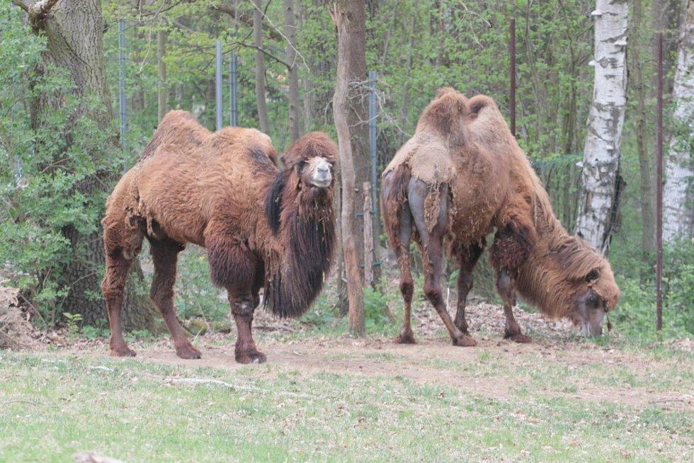 Zoo Na Hrádečku se ředitelkou Romanou Albrechtovou se věnuje chovu velbloudů již 10 let.