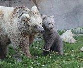 Mládě medvěda plavého se narodilo v ZOO Ohrada na Nový rok a v těchto dnech se podívalo do výběhu.