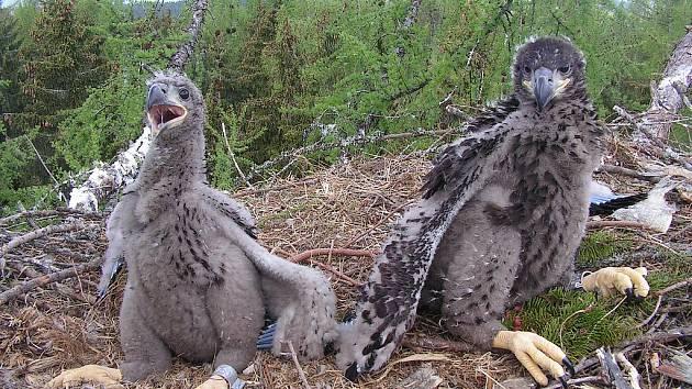 Mláďata orla mořského na hnízdě.