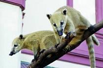 Jihoameričtí medvídci přebývají v nové expozici zatím v chýši. Do výběhu budou moci, až zakoření vegetace.