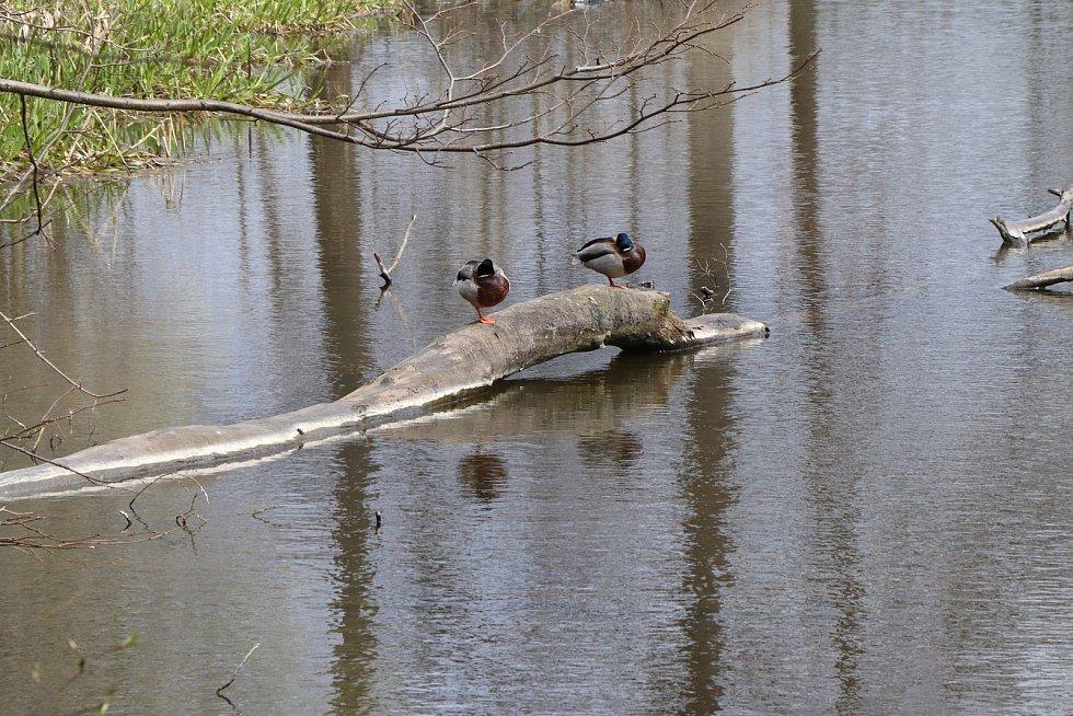 Sasanky u Špačků v úterý 6. 4. ráno v meandru řeky Malše v Mladém.