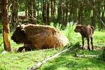 Také jihočeští vědci se podílejí na projektu rezervace v Milovicích, kde mimo jiné žije i stádo zubrů.