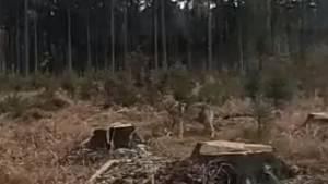 Naaranžované video chce vyvolat obavy z vlků