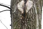 Duch stromový 21 - puklé srdce