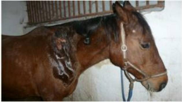 Policisté pátrají po pachateli, který polil ve výběhu u Dehtáře koně žíravinou.