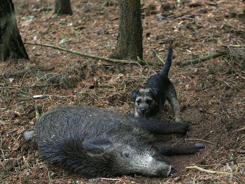 V honitbě v Přeštěnici u Milevska se 7.listopadu sešli lovci při naháňce na černou do 2 let a  škodnou.Border teriér se svým uloveným lončákem.