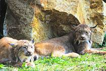 Ve Dvorci se zabydluje chovný pár vzácných zvířat. Kanadské rysy v Čechách chovají jen plzeňská a ostravská zoologická zahrada.