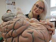 Model mozku ukazuje studentka zdravotně sociální fakulty v Českých Budějovicích Eliška Růžičková.