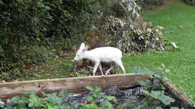 Srneček albín v Bavorsku.