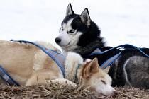 Neobvyklý nonstop závod psích spřežení odstartoval 14. února ve Veclově na Jinřichohradecku. Závodníci mají sto hodin na to, aby urazili co největši vzdálenost. Závěr je v sobotu odpoledne. Loňský vítěz dokázal ujet 559 kilometrů.