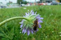 Rozkvetlé trávníky v Českých Budějovicích, ošetřované tak, aby poskytly co nejvíce potravy a úkrytů hmyzu.