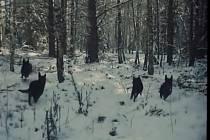 Vlci, přesněji psi zřejmě od Pohraniční stráže honí v lese Štastnou chvíli, která zachránila  zatoulané jehně.