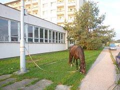 Muž, který koně viděl, ho dokázal sám odchytit a ještě přivázat ke sloupu.