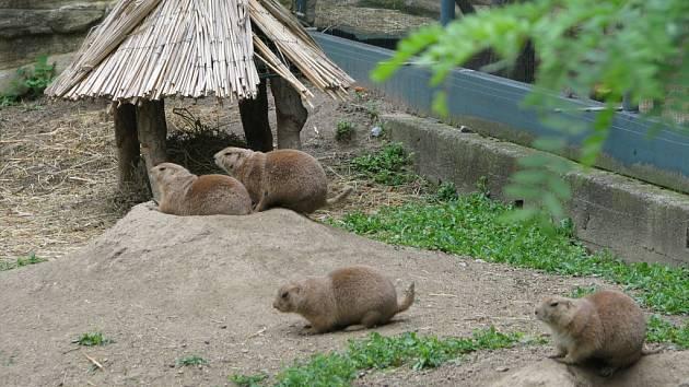 V nové jihoamerické expozici už se zabydleli psouni prérioví. Kdo bude mít dostatek trpělivosti, může zahlédnout i některé z jejich osmi mláďat.