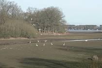 I vypuštěný rybník Dvořiště láká v těchto dnech volavky k lovu na potoku od Slověnic.