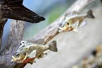 Až do konce října je na tvrzi Žumberk k vidění výstava Ryby a lidé, která připomíná tradici jihočeského rybníkářství.