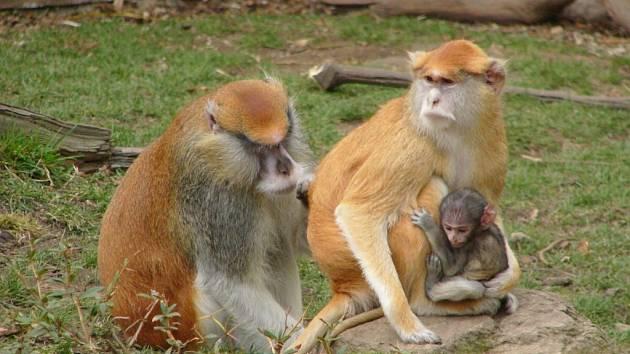 Ani páteční oslava 70. narozenin hlubocké zoo se neobejde bez oblíbeného komentovaného krmení některých zdejších obyvatel. Například rodince kočkodanů budou ošetřovatelé podávat oběd po 15. hodině.
