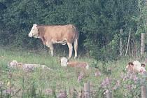 Mediální kráva se našla sama.