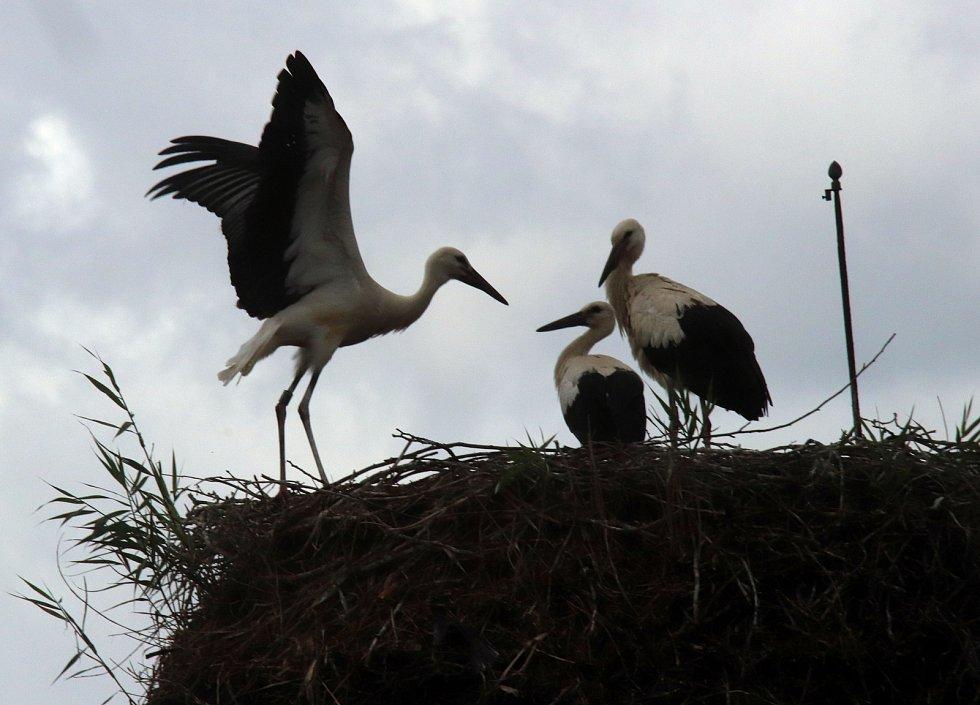 Tři čapí mláďata na komíně hlubockého zahradnictví již ve větru pilně trénují na odlet do teplých krajin.