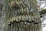 Duch stromový 12 křivozubý