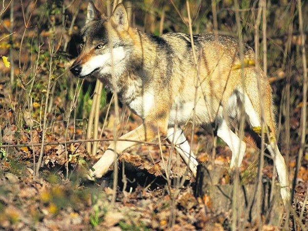 Vlk se vrátil na Šumavu a dělá chovatelům ovcí starosti.