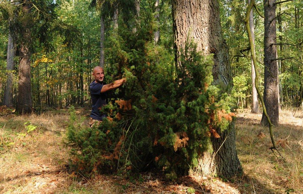 Fotografie – Biolog Miloslav Jirků u posledního exempláře jalovce ztraceného v milovických lesích.