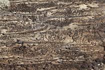 Vykousané cesty larev brouka lýkožrouta smrkového pod kůrou kmene stromu. Ilustrační foto.