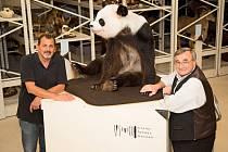 Uhynulá panda se vrací domů.