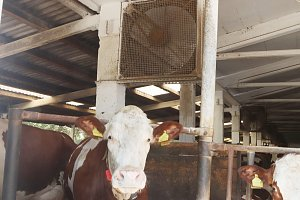 Ventilátory v kravínech ZOD Borovany