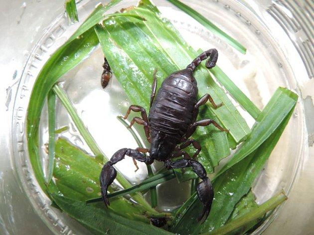 Škorpion zHellmonsödtu.