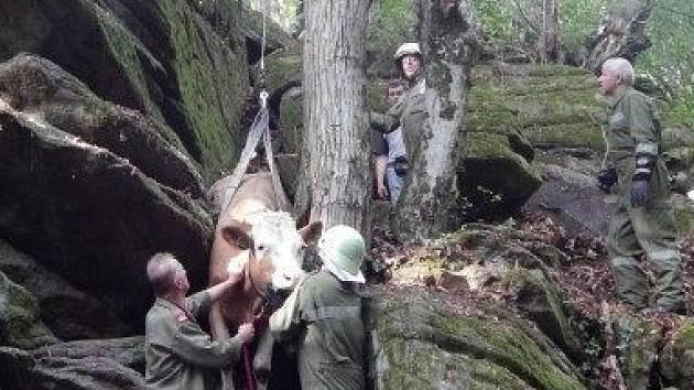 Hasiči snášeli březí krávu.