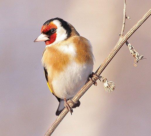 Stehlík je Ptákem roku usousedů.