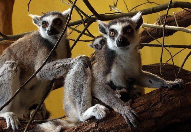 Mladá zvířata vzoo ohrada vHluboké nad Vltavou. Bnarodilo se pět malých lemurů, jeden kočkodan husarský a tři ovečky ouessantské.  Vbřeznu se vzoo na  Hluboké nad Vltavou narodilo pět lemuřích miminek. Dvoje dvojčata dokonce vjeden den.
