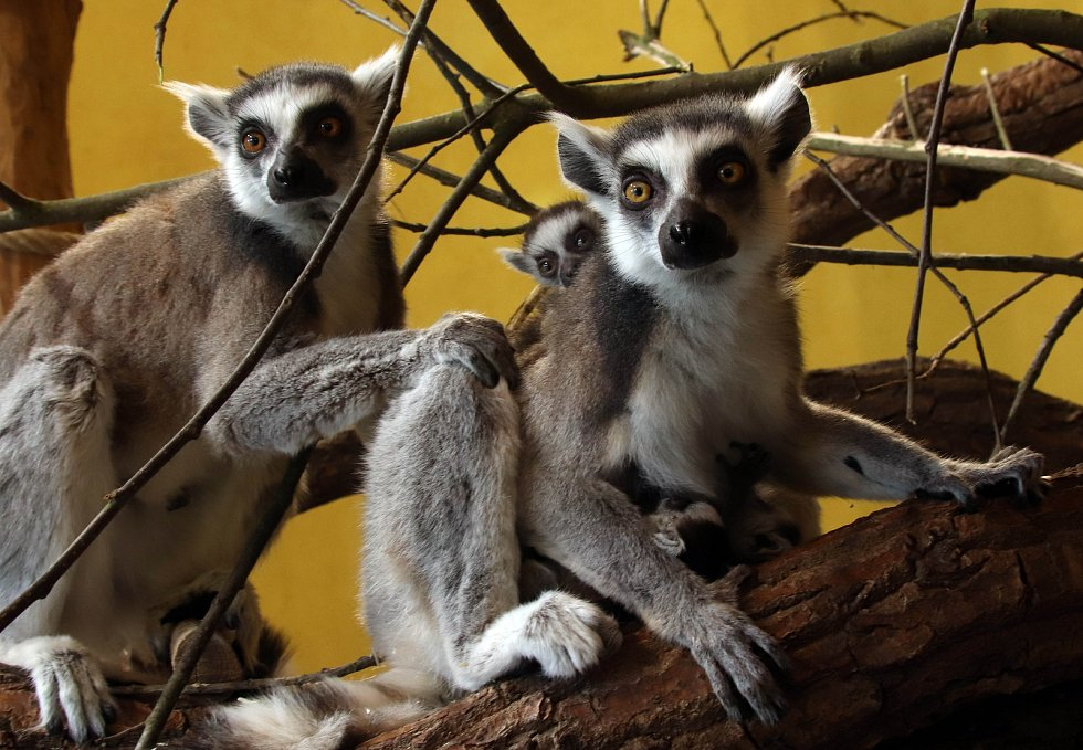 Mladá zvířata v zoo ohrada v Hluboké nad Vltavou. Narodilo se pět malých lemurů, jeden kočkodan husarský a tři ovečky ouessantské.  V březnu se v zoo na  Hluboké nad Vltavou narodilo pět lemuřích miminek. Dvoje dvojčata dokonce v jeden den.