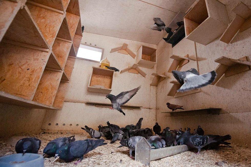 Ilustrační foto. Obecní nebo městské holubníky dobře fungují v Německu, Holandsku, Rakousku, Belgii, Velké Británii, Španělsku nebo Francii.