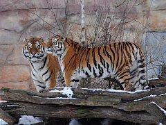 Jihočeská zoologická zahrada Hluboká nad Vltavou hodlá odchovat mláďata ohroženého tygra ussurijského. Samec Oliver a samice Altaica jsou ve společném výběhu už tři týdny.