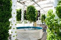 Akvaponie- rybí trus živí rostliny a šetří přírodu.