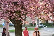 Do Českých Budějovic zavítá asi jen sedm procent ze všech japonských turistů, kteří přijedou na jih Čech. Ostatní láká hlavně značka UNESCO, tedy Holašovice a Český Krumlov. Snímek je z budějovického Mariánského náměstí.