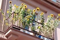 Na nezvyklou balkonovou výzdobu jsme narazili v českobudějovické Tovární ulici. Tohle by mě fakt nenapadlo, pěstuji jen klasické balkonovky jako petunie, verbeny, muškáty. Také rajčata. Pustím se i do slunečnic, čmeláci je nadšeně přivítají.