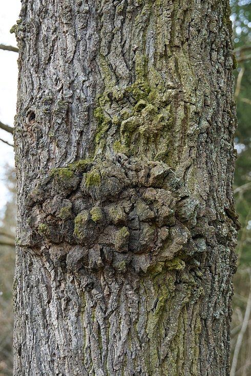 Duch stromový 13 - vousáč
