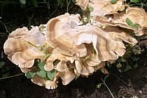 Neobvykle velkou houbu našel na zahradě Pavel Ševčík z Dubičného (obce u Českých Budějovic).