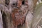 Duch stromový 30 - zrznoun