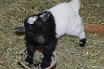 Kozlík domácí holandské zakrslé kozy se má čile k světu.
