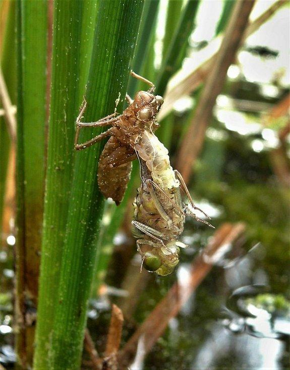 Larva vážky čárkované přeměňující se v dospělce.