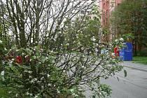 Ráno mrzne, ale stromy kvetou. Snímek jabloně, která v minulých dnech rozkvetla na českobudějovickém sídlišti Vltava, nám zaslala čtenářka Jana Malechová.