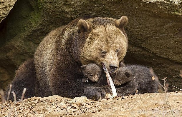 Dvě medvíďata asi nepřežila.
